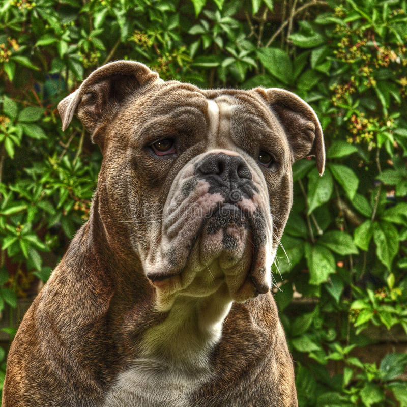 One item on Bull Doggs head in HDR. One item on Bull Doggs head with the plant Boston Ivy, Parthenocissus tricuspidata in the background .... in HDR stock images