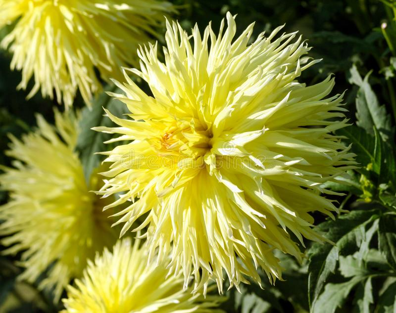 One large aster flower close-up, a plant of yellow color with a lot of thin petals. In the shape of a ball, in the background the same flowers parts, a sunny stock image