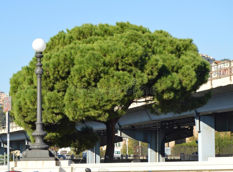 One large pine with a huge spreading crown and one round city lantern on the background of a bridge in the center of Genoa, Italy royalty free stock images