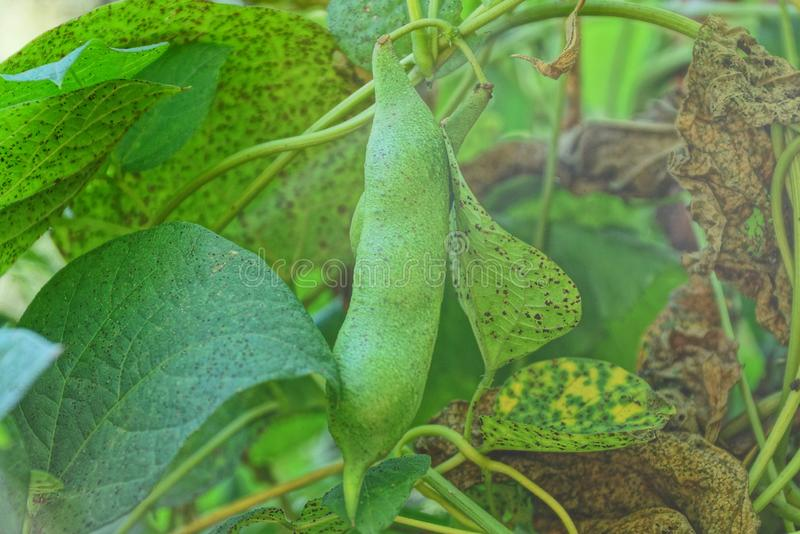One large pod of beans on a branch among green and brown leaves royalty free stock photos