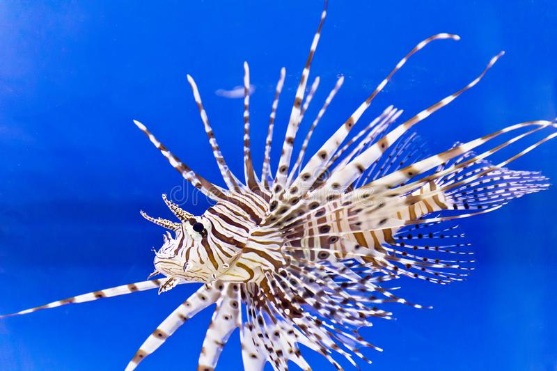 One large pterois volitans fish in blue salt water. One large pterois volitans fish with spikes and stripes in blue salt water stock photos