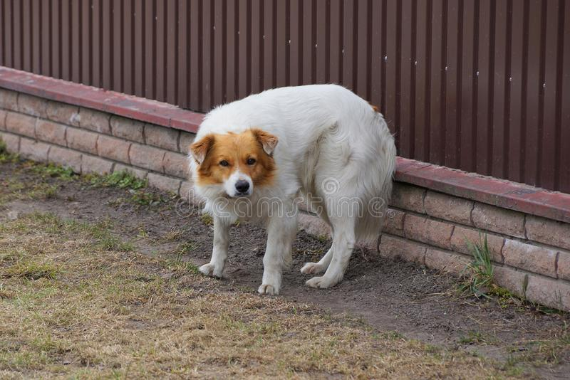 One large spotted dog stands on the grass against the brown wall of the fence. In the street stock images