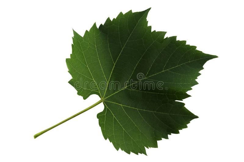 One leaf of grapes isolated on white background, top side of leaf stock photo