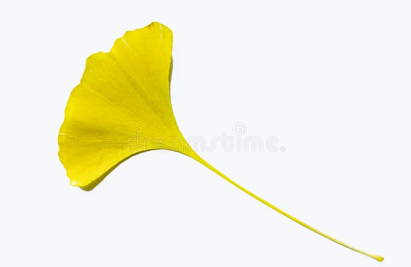 `yellow Ginkgo biloba leaves`-One leaf knows the arrival of autumn -. One leaf knows the arrival of autumn - `Ginkgo biloba leaves`,Looking at the stock images