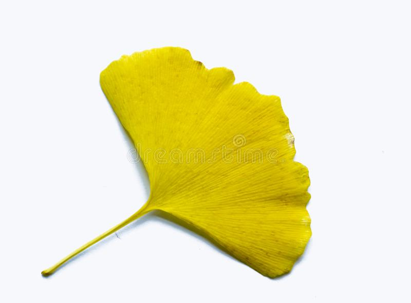 `yellow Ginkgo biloba leaves`-One leaf knows the arrival of autumn -. One leaf knows the arrival of autumn - `Ginkgo biloba leaves`,Looking at the royalty free stock image