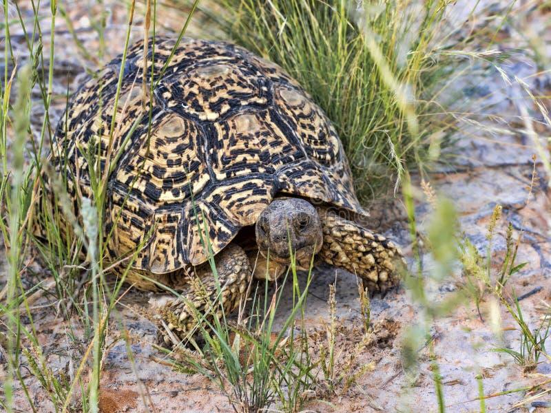 Leopard tortoise, Stigmochelys pardalis, Kalahari South Africa. One Leopard tortoise, Stigmochelys pardalis, Kalahari South Africa stock image