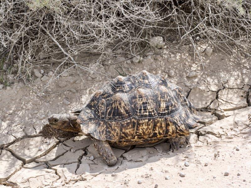 Leopard tortoise, Stigmochelys pardalis, Kalahari South Africa. One Leopard tortoise, Stigmochelys pardalis, Kalahari South Africa royalty free stock photos