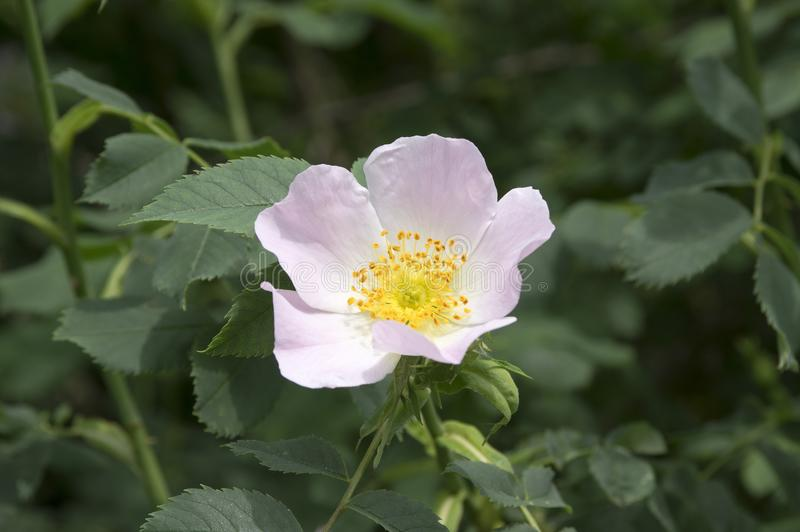 One light pink wild dog rose in bloom stock image
