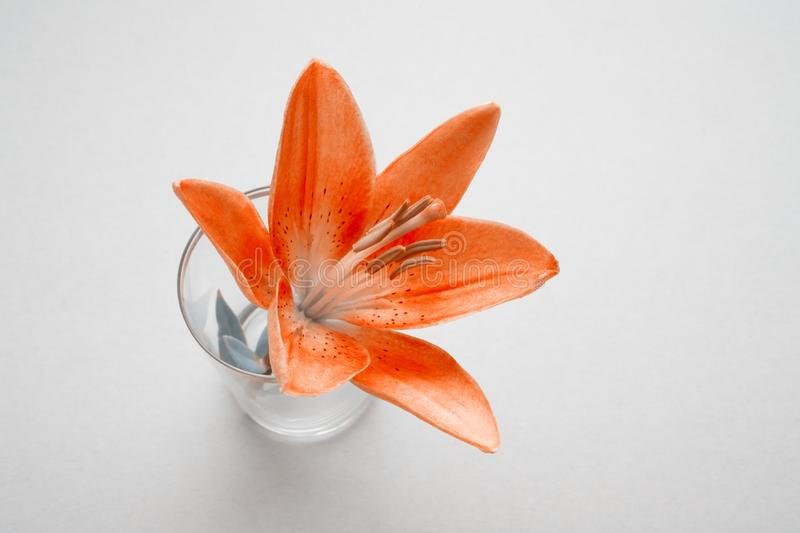 One lily flower with drops water in a glass on gray background with copy space. Orange-gray filter royalty free stock photos