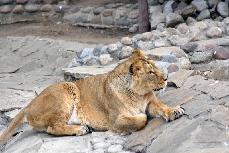One lion portrait, the animal lays on the stones. stock photos