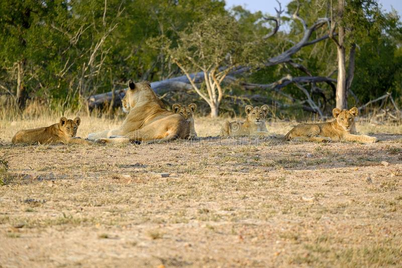 One lioness with four cubs laying down resting. Lioness with four cubs laying down resting royalty free stock photos