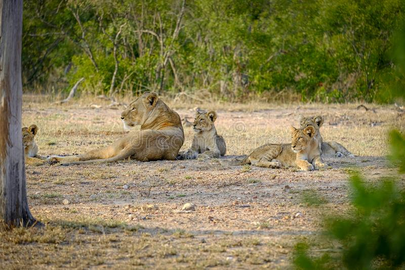 One lioness with four cubs laying down resting. Lioness with four cubs laying down resting stock photography