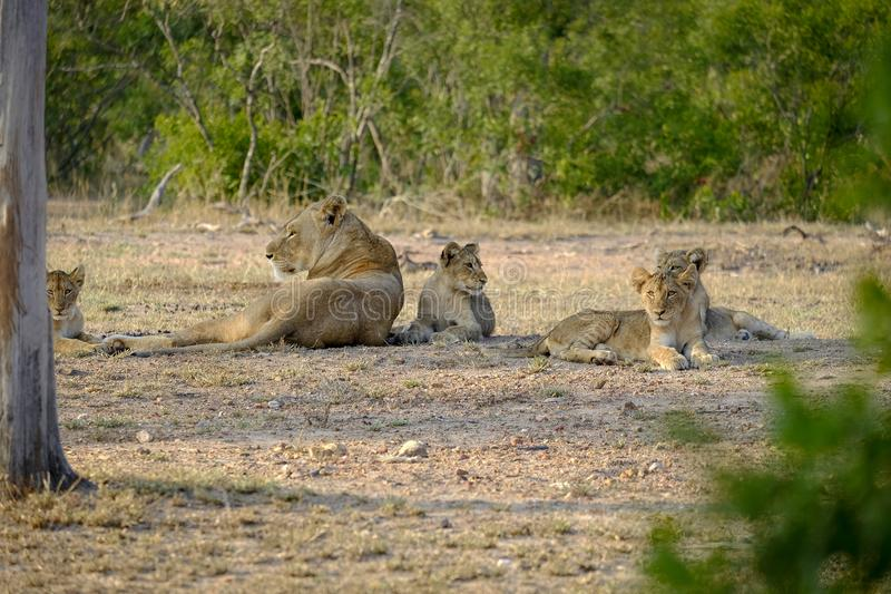 One lioness with four cubs laying down resting. Lioness with four cubs laying down resting stock images