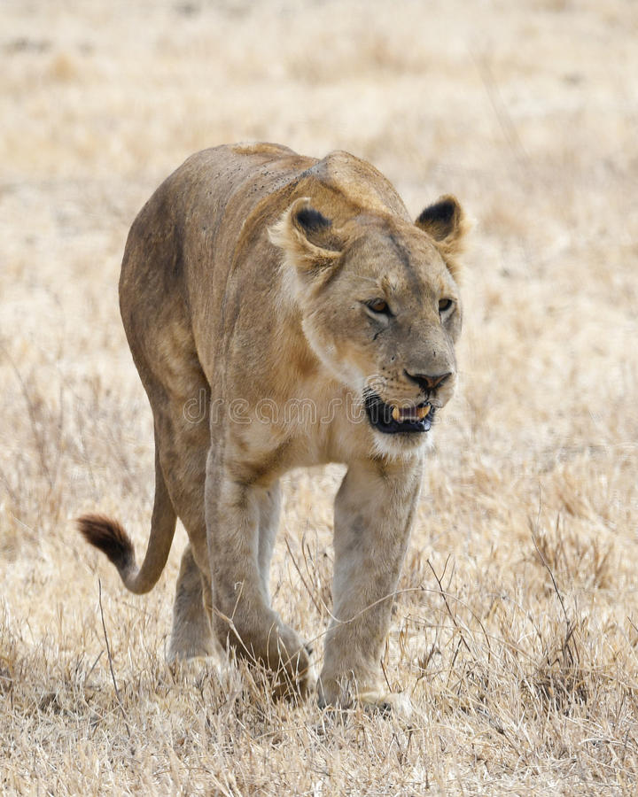 One lioness walking in the grass in the Ngorongoro Crater. A frontal view of a lioness walking in short grass in the Ngorongoro Crater, Tanzania royalty free stock photos