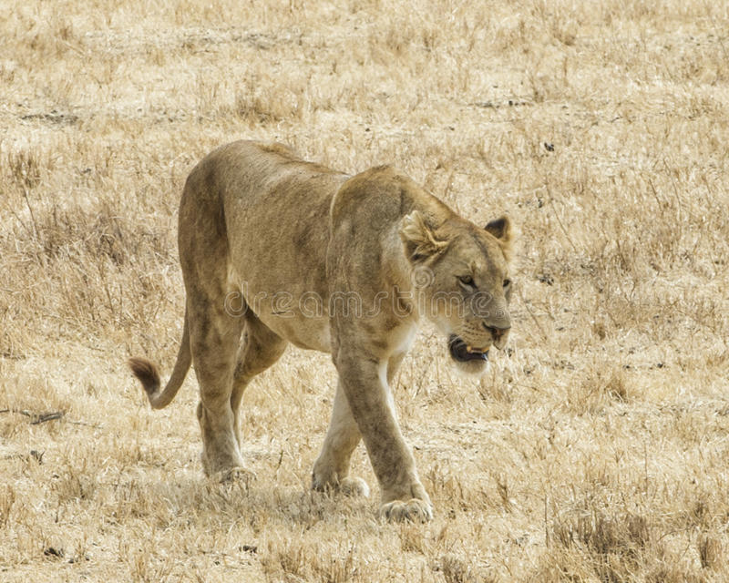 One lioness walking in the grass in the Ngorongoro Crater. A frontal view of a lioness walking in short grass in the Ngorongoro Crater, Tanzania stock photo