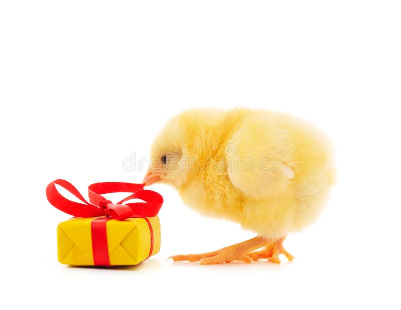 One little chicken with a gift. On a white background stock photography