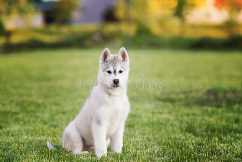 One Little cute puppy of Siberian husky. Dog outdoors stock photos