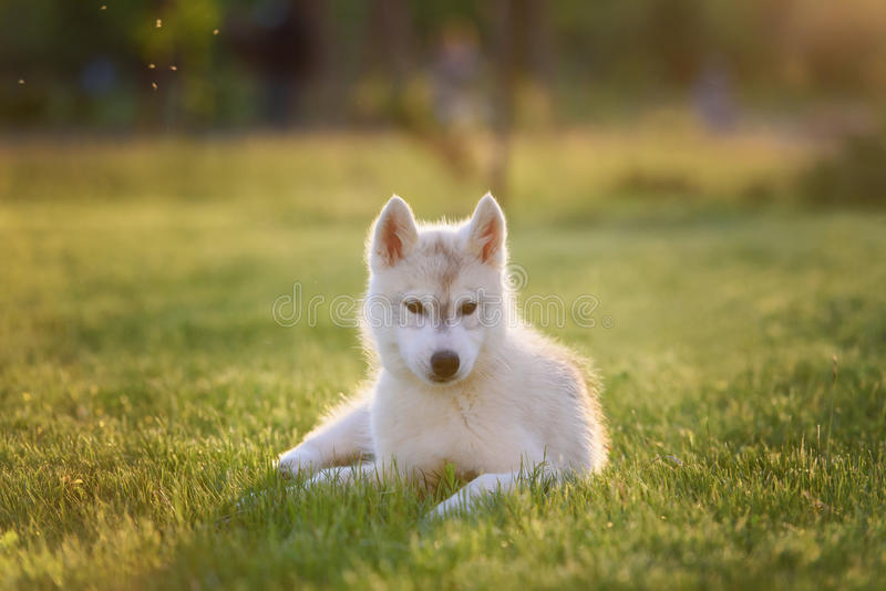 One Little cute puppy of Siberian husky royalty free stock photos