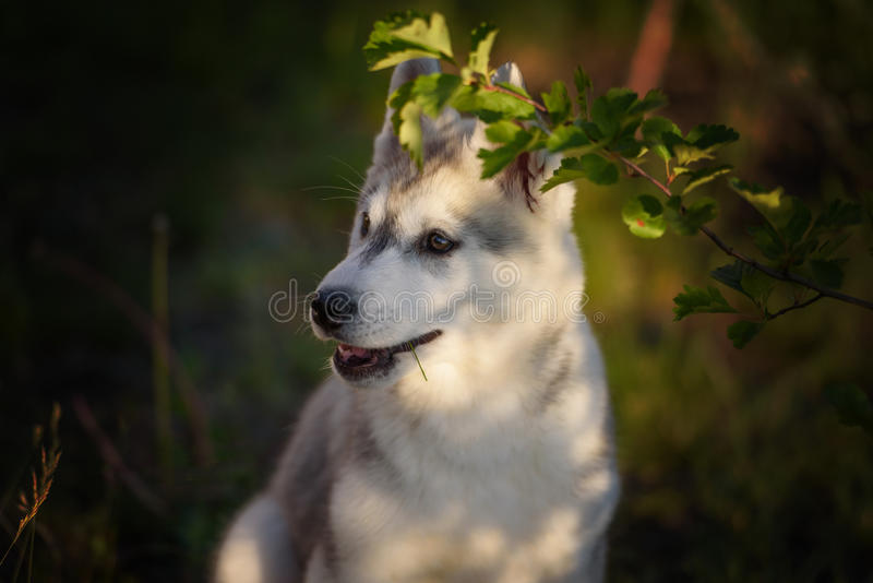 One Little cute puppy of Siberian husky. Dog outdoors stock photography