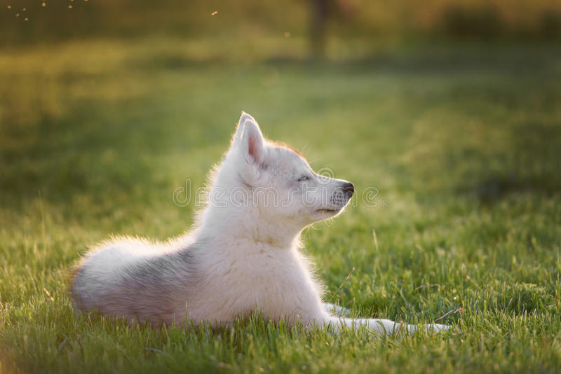 One Little cute puppy of Siberian husky royalty free stock images