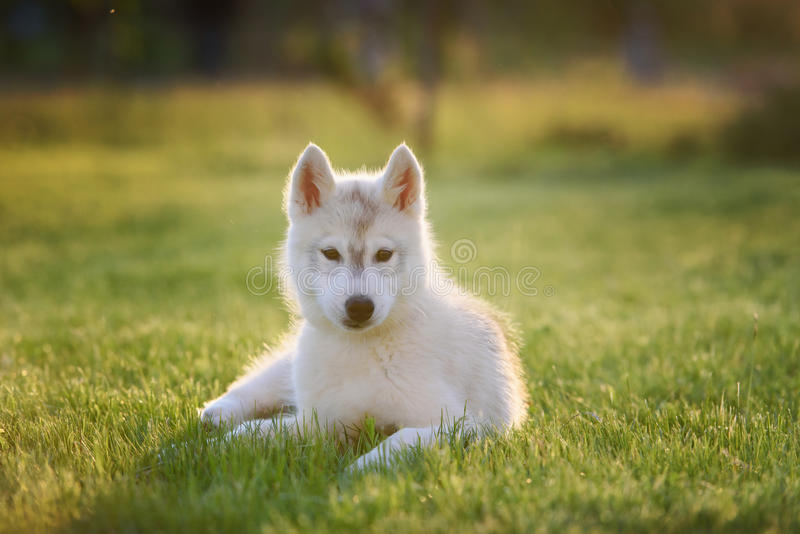 One Little cute puppy of Siberian husky royalty free stock image