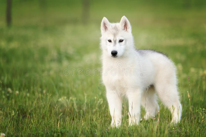 One Little cute puppy of Siberian husky. Dog outdoors stock photos