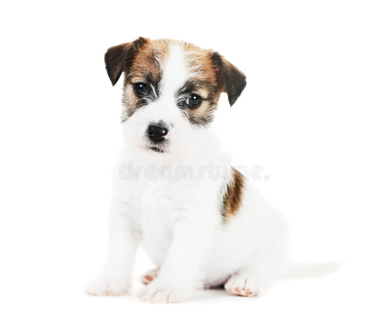 One Little Jack Russel Terrier Puppy Stock Photography