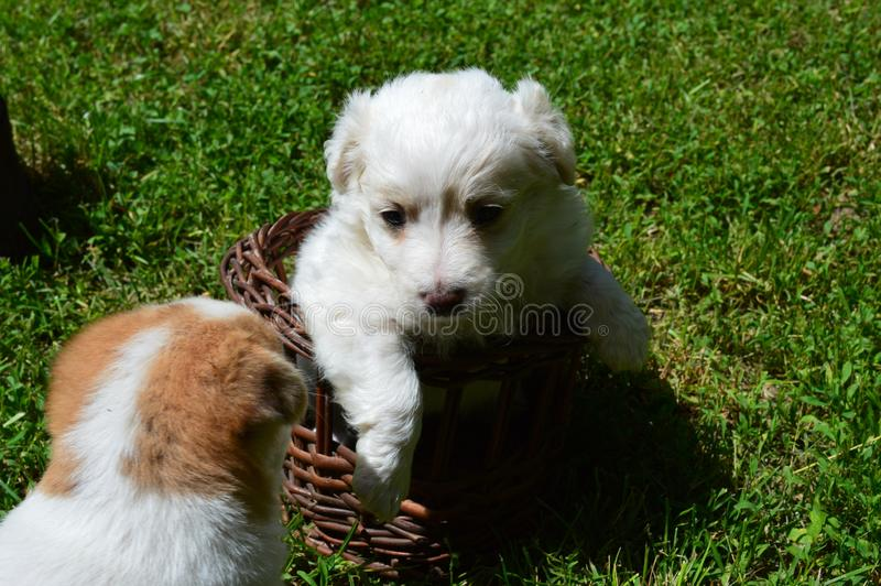 Little puppy in the basket royalty free stock photography