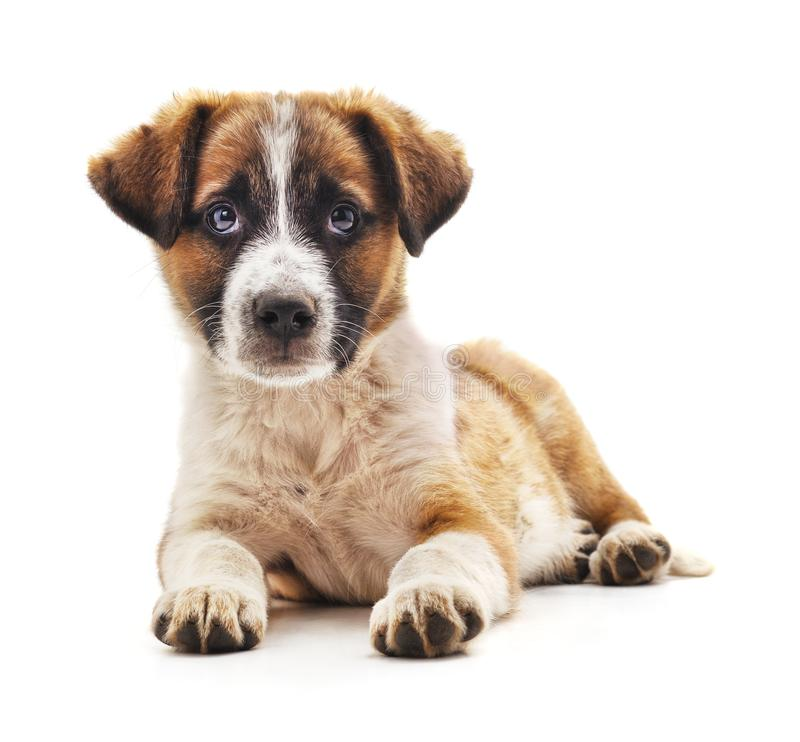 One little puppy. On a white background stock image