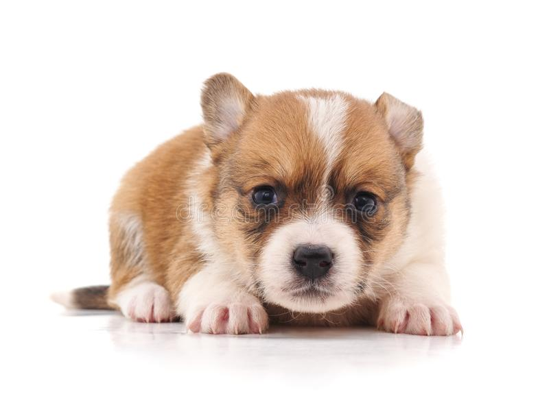 One little puppy. One little puppy on a white background stock image