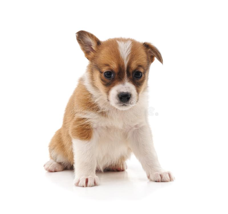 One little puppy. One little puppy on a white background royalty free stock photography