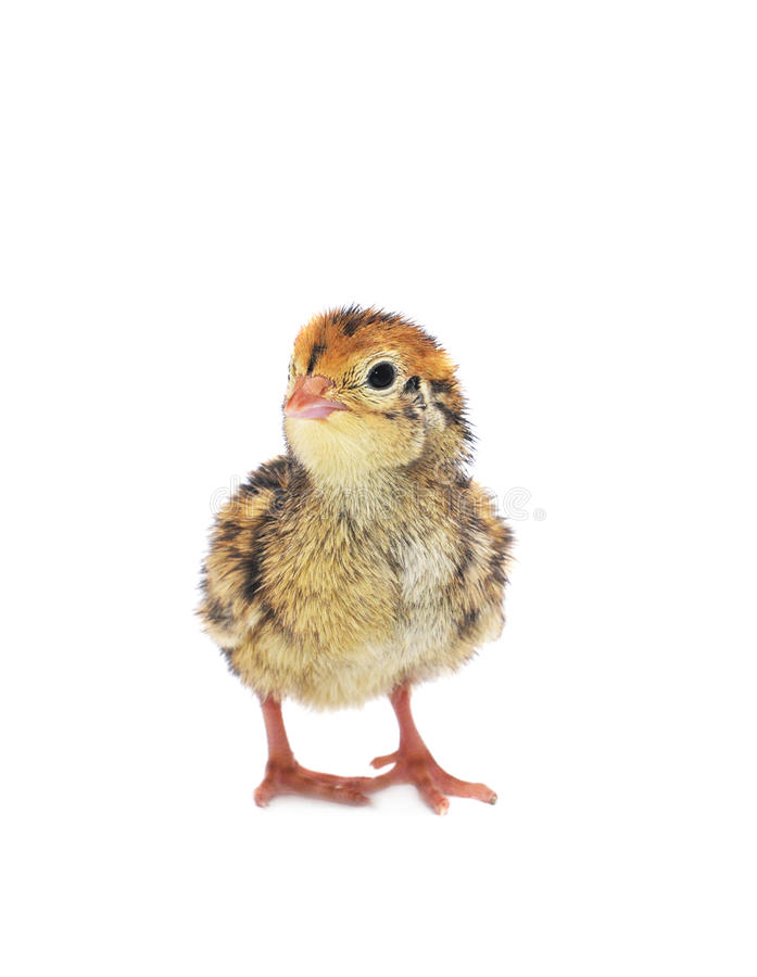 Free One Little Quail Royalty Free Stock Images - 19358639