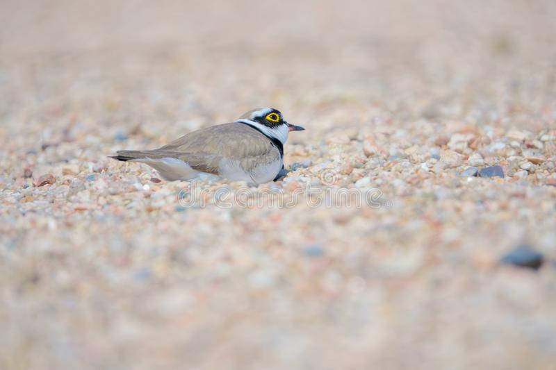 Little Ringed Plover. One Little Ringed Plover hides in sand. Scientific name: Charadrius dubius royalty free stock images