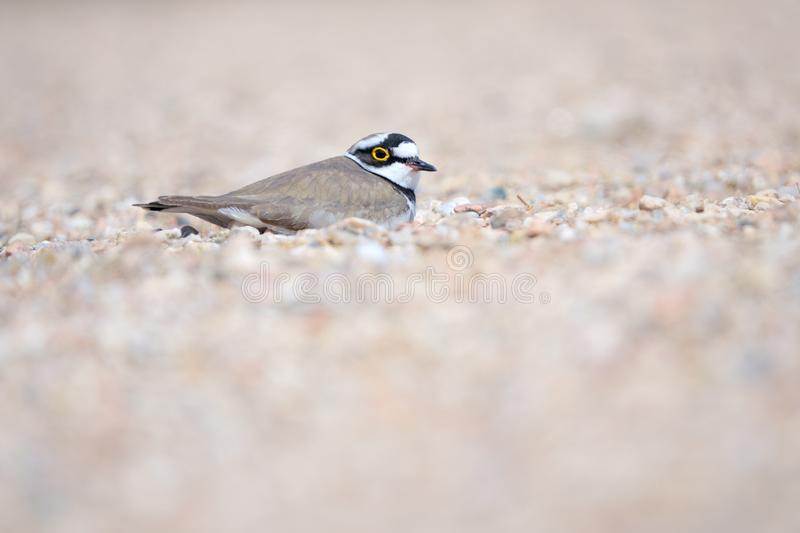 Little Ringed Plover. One Little Ringed Plover hides in sand. Scientific name: Charadrius dubius stock image