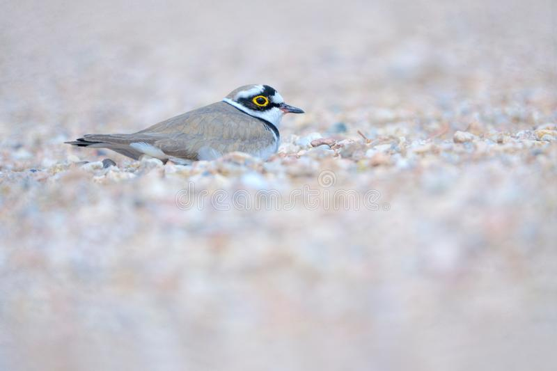Little Ringed Plover. One Little Ringed Plover lays in sand. Scientific name: Charadrius dubius royalty free stock images