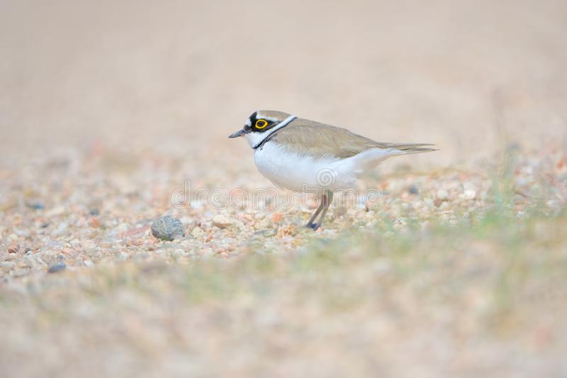 Little Ringed Plover. One Little Ringed Plover rests in sand. Scientific name: Charadrius dubius stock photo