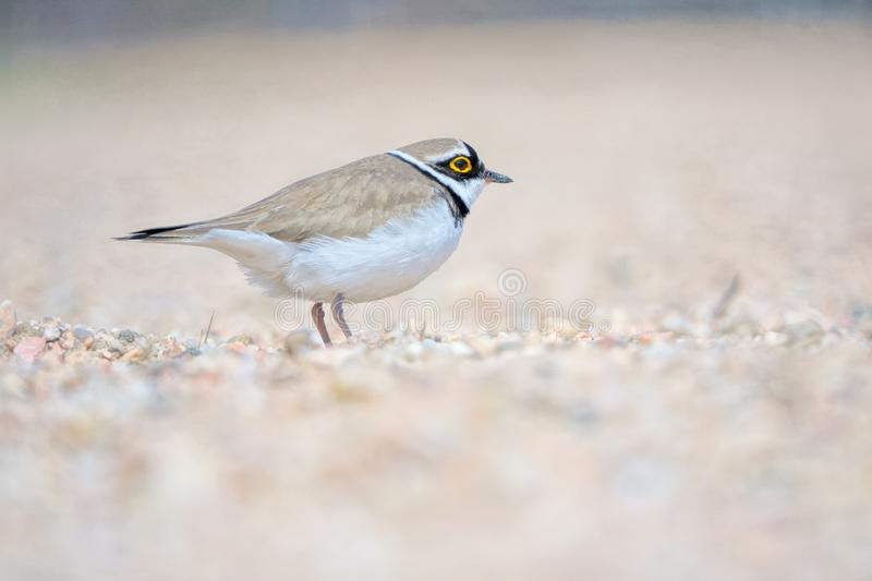 Little Ringed Plover. One Little Ringed Plover rests in sand. Scientific name: Charadrius dubius stock photos