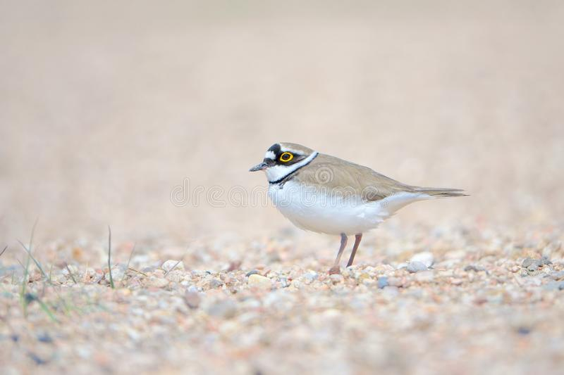 Little Ringed Plover. One Little Ringed Plover stands in sand. Scientific name: Charadrius dubius stock photo