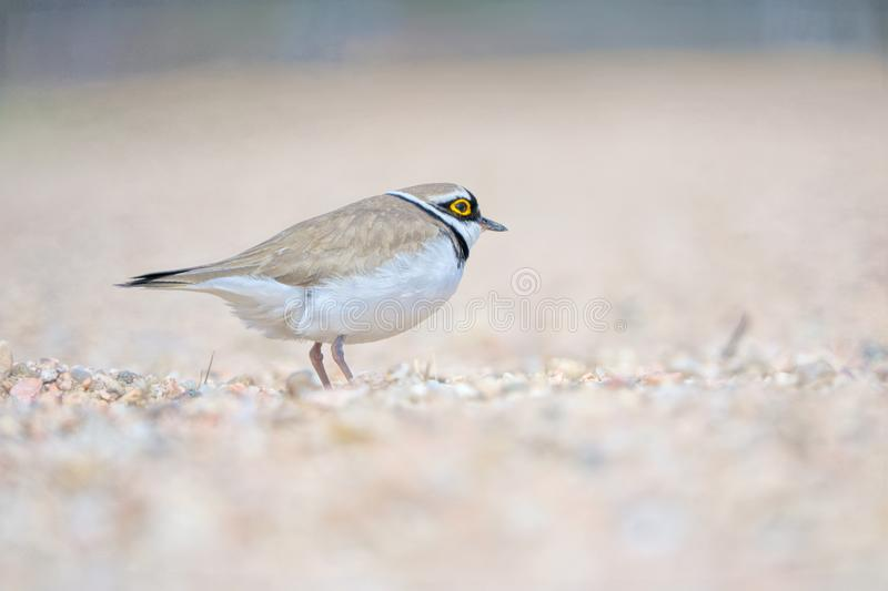 Little Ringed Plover. One Little Ringed Plover stands in sand. Scientific name: Charadrius dubius royalty free stock photo