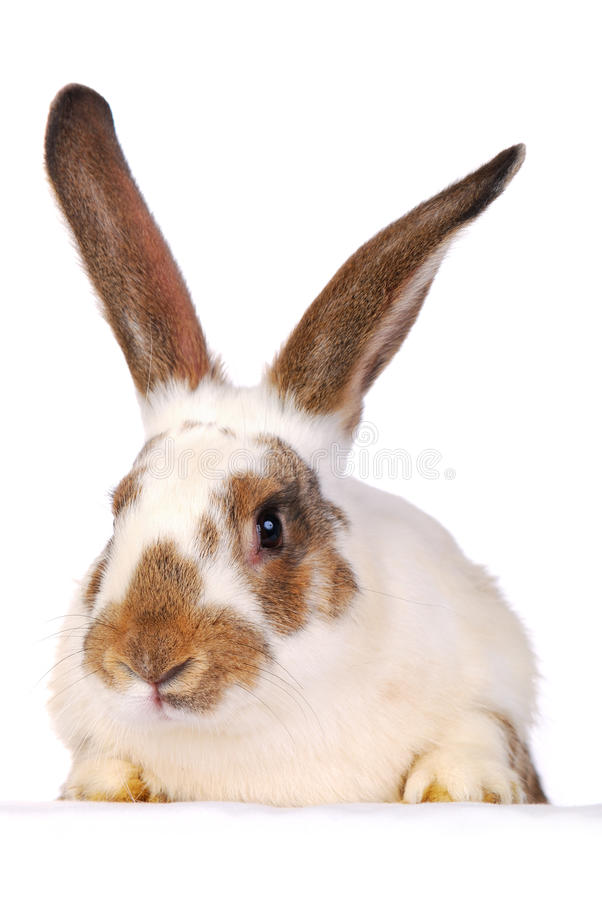 One live rabbit on the white stock photos