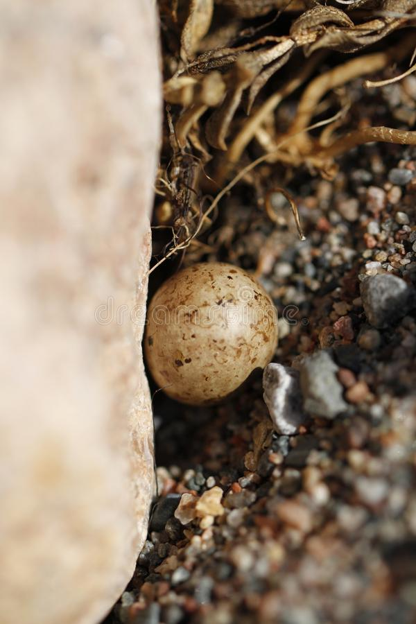 One lonely Lapland Longspur egg in a nest around fine rocks near Arviat. Nunavut stock images