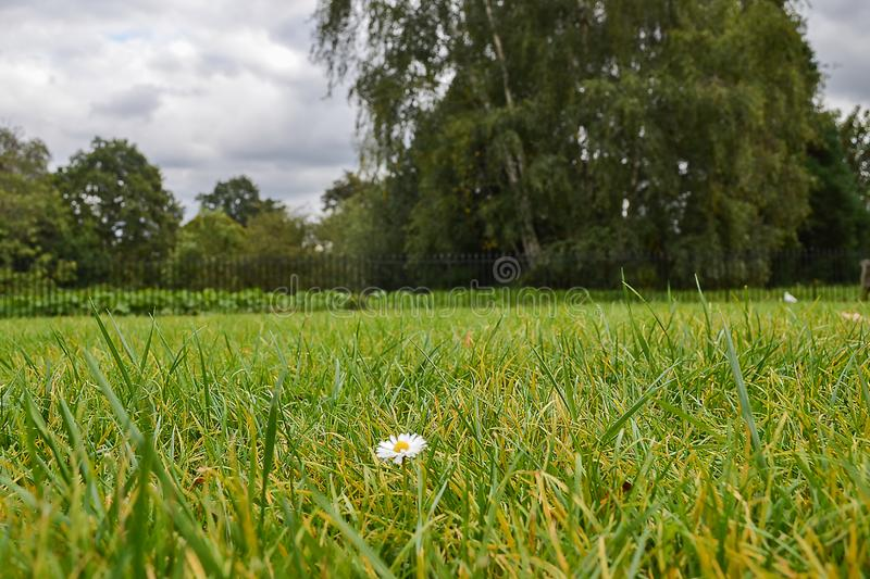 One lonely little chamomile on a grass lawn.  royalty free stock photography