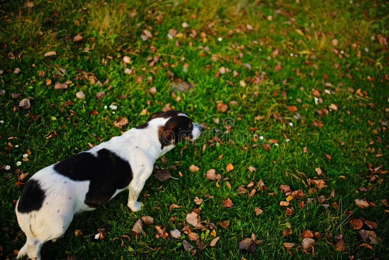 One lonely mongrel spotted dog walk along the green autumn grass with leafage on it royalty free stock photos