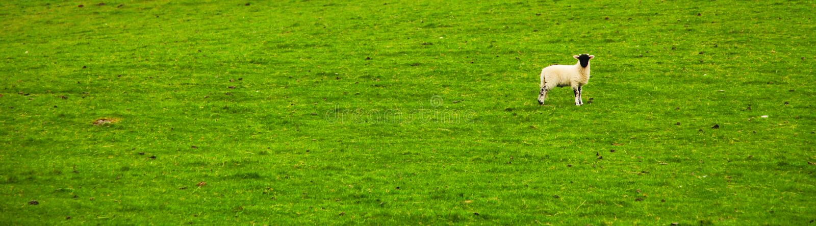 One Lonely Sheep in Grass royalty free stock photo
