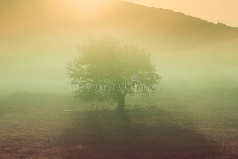 One lonely tree in the meadow in the mist with sunlight. royalty free stock photography