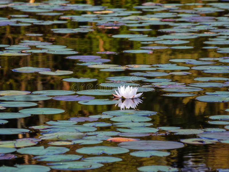 One Lonesome Lily in a pond with lily pads stock photography