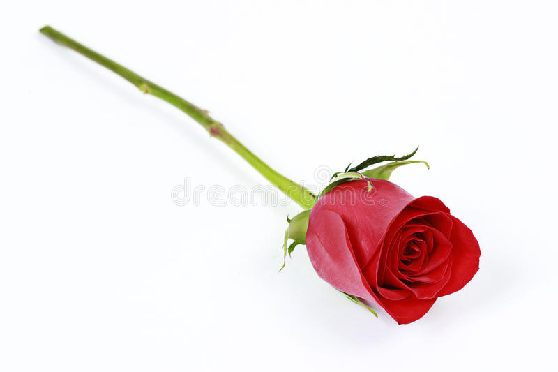 One long stem red rose stock photos