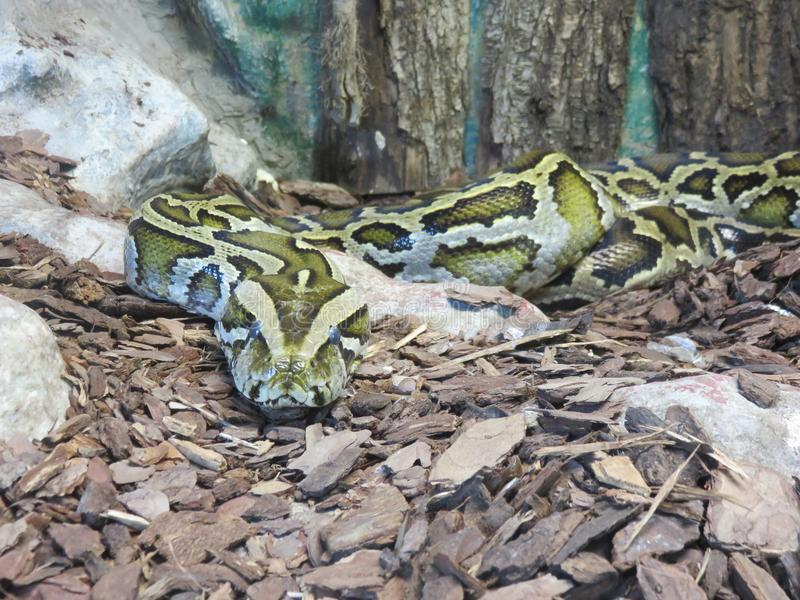 Serpente Boa Constrictor. One of the longest and strongest snakes on the planet with its strength manages to crush the bones of the unfortunate prey royalty free stock images