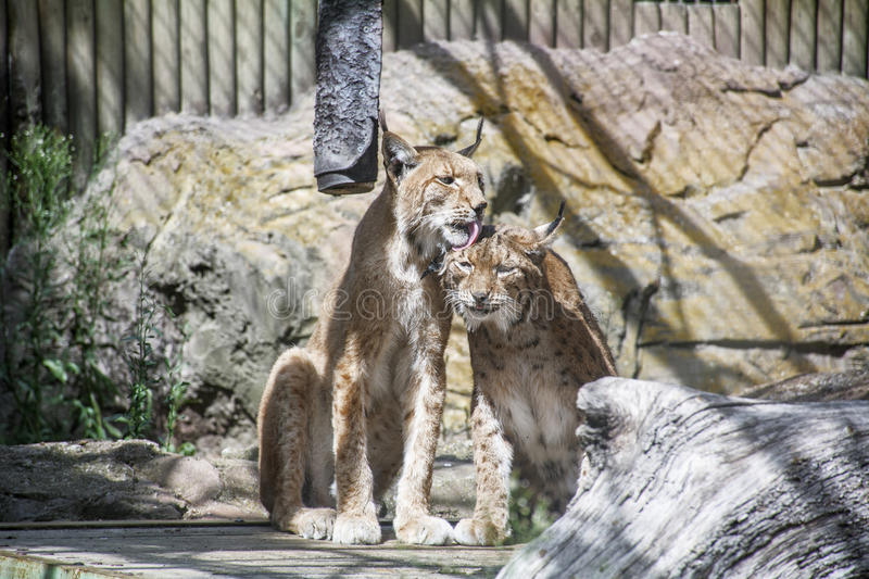 One lynx is liking another lynx in the cage. In the zoo with tenderness stock photos