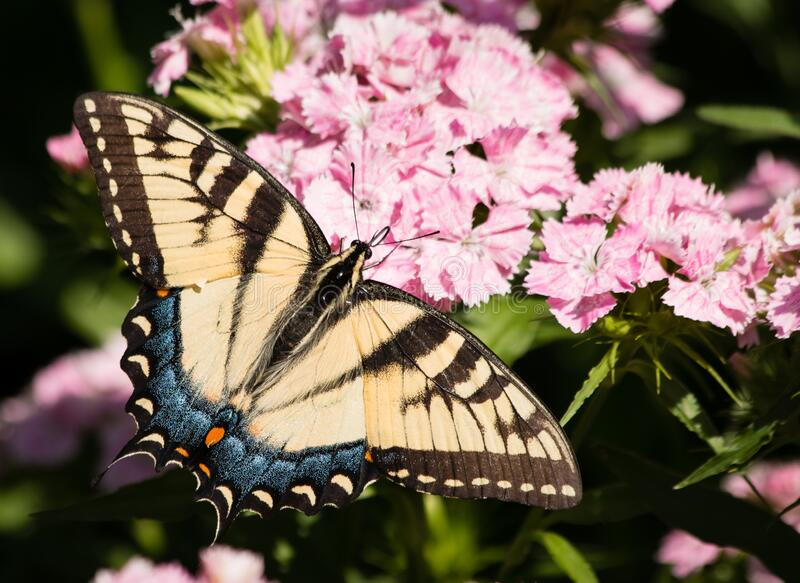 Eastern Tiger Swallowtail Butterfly papilio glaucus. One magnificent Eastern Tiger Swallowtail butterfly on soft pink dianthus flowers in sunshine stock image
